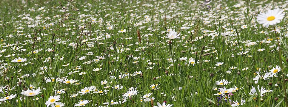 Blumenwiese in Stefanskirchen